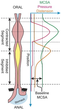 Oral to anal pressures vary depending on the location of the muscle cross sectional area (MCSA).